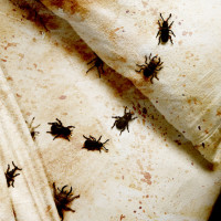 Bed and bedbugs